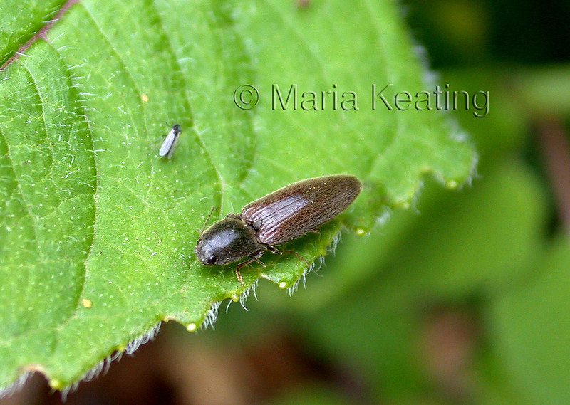 Click beetle. The adult of the nasty wire worm.