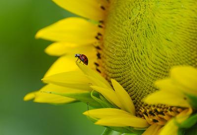 Lady Bug on a Sunflower