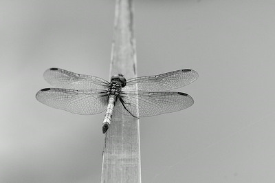 Blue Dasher Dragonfly - Monochrome