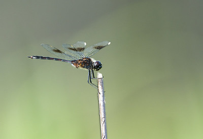 Four Spotted Pennant Dragonfly