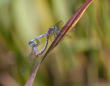 Blue Dasher Dragonfly Mating Pair