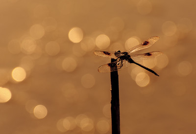 Four Spotted Pennant Silhouette