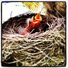 New Life is Formed. #birds #robin