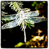 Broken wing! #bug #dragonfly #broken #wing
