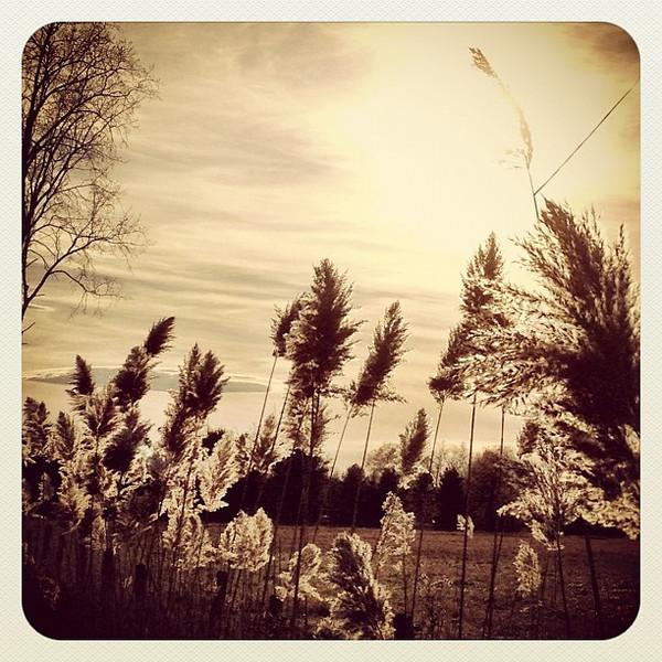 Some bushy stuff. #milton #btv #vt