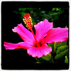 Hibiscus or Bunga Raya in #Malaysia. #flower #nature #pink #flora #KualaLumpur