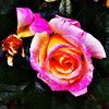 "#tucson#az#arizona#igerstucson#instagramaz #az365#azgrammers#instaaz#igersaz#igersarizona #azcentral#arizonalife#aznature#azscenery #desertscenery #rose #flower via Instagram <a href=""http://ift.tt/Rvstha"">http://ift.tt/Rvstha</a>"