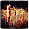 Yard full of Cat Tails. #miltonvt #vt