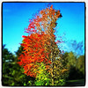 Tall and red. #milton #btv #vt #foliage
