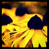 Black Eye Susan? #flower #flowers #yellow #nature