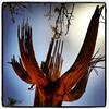 "#tucson #az #saguaro #cactus #ghostsaguaro via Instagram <a href=""http://instagram.com/p/YtMqYFCiu5/"">http://instagram.com/p/YtMqYFCiu5/</a>"