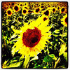 Field of Sun Flowers. #GrandIsle #vt