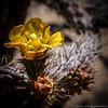 "#tucson #az #cactus #flower via Instagram <a href=""http://instagram.com/p/YzO9ROiipI/"">http://instagram.com/p/YzO9ROiipI/</a>"