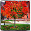 Red Maple. #btv #vt #uvm #foliage