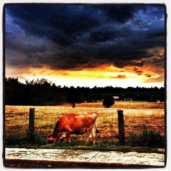 Cow Loves Sunset. #miltonvt #vt