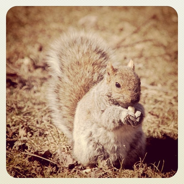 A little nutty. #squirrel #nut #Montreal #animal