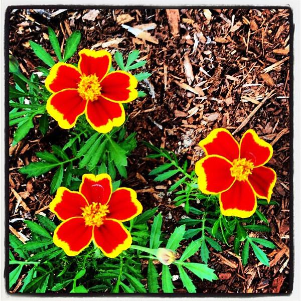 Red Marietta. #flowers