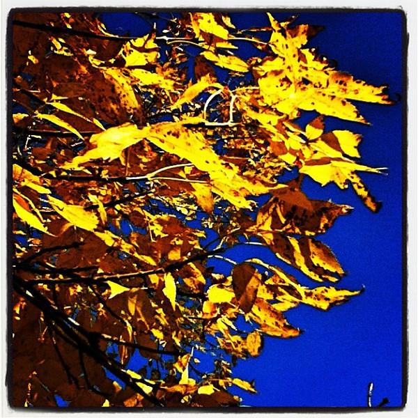 Golden leaves. #btv #vt #foliage