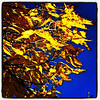 Golden leaves. #btv #vt #foliage