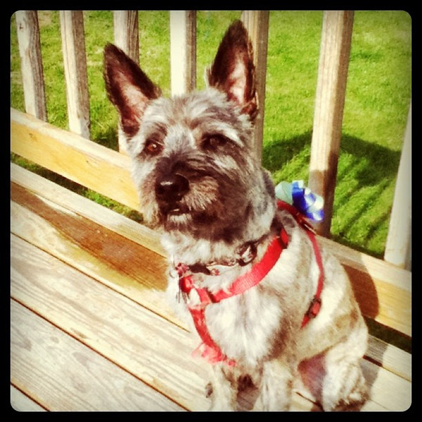 Newly groomed dog! Cairn Terrier now looks like a rat! #dog #pet #max #canine