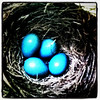 Robin eggs right under the back deck. #bird #eggs #blue #nest