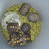 "#tucson#az#arizona#igerstucson#instagramaz #az365#azgrammers#instaaz#igersaz#igersarizona #azcentral#arizonalife#aznature#tortoises #deserttortoises #babytortoises via Instagram <a href=""http://instagram.com/p/iG52_Ciitu/"">http://instagram.com/p/iG52_Ciitu/</a>"