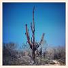 "#tucson #az #saguaro #cactus #ghostsaguaro via Instagram <a href=""http://instagram.com/p/YtNJzZCive/"">http://instagram.com/p/YtNJzZCive/</a>"