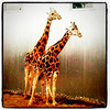 Giraffe style! Privacy please!