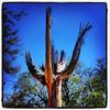 "#tucson #az #saguaro #cactus #ghostsaguaro via Instagram <a href=""http://instagram.com/p/YtM3LcCivN/"">http://instagram.com/p/YtM3LcCivN/</a>"