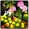 Plants and Flowers, and a long day of planting. #miltonvt #vt