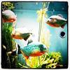 Piranha at #Montreal #Biodome. #fish #dangerous #piranha #aquarium #Quebec #Canada