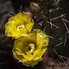 "#tucson #arizona #az #igerstucson #instagramaz #flower #cactus via Instagram <a href=""http://instagram.com/p/Y1hcOsiik6/"">http://instagram.com/p/Y1hcOsiik6/</a>"