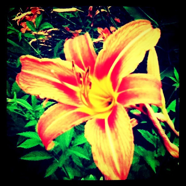 They do live to their name, Tiger Lily. #flower #flora #nature