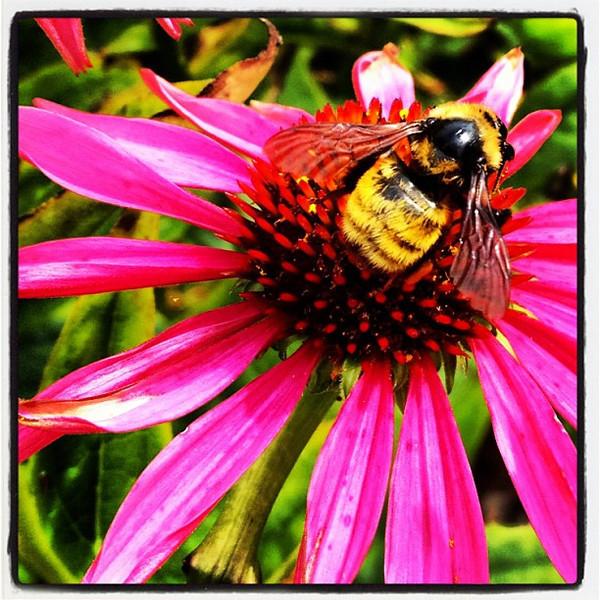 Kiss of a Bee! #quebec #macro #qc