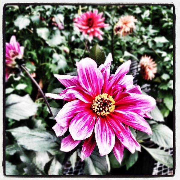 Pink it grows! #flowers #miltonvt