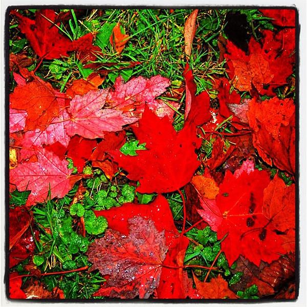 Fire red maple leaves. #foliage #milton #btv #vt
