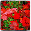 Fire red maple leaves. #foliage #milton #btv #vt