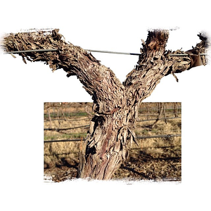 Winter in the #vineyard #livermore #vine #cutout