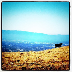 #cow, in #sanjose?
