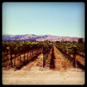 The #vineyard near my house in #livermore.