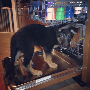 Time for a bath!  #germanshepard #dog in the #dishwasher