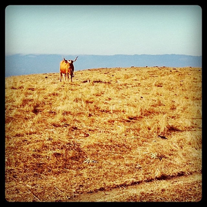 What you lookin at Willis?  Another random #cow in the hills above #sanjose