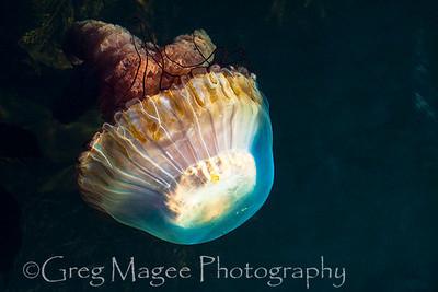 Sea nettle 2