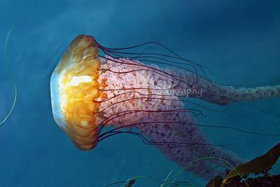 Sea nettle 5