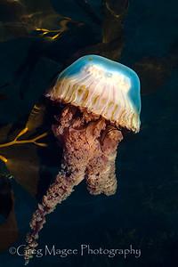 Sea nettle 3