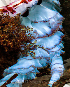 Large Purple Striped Jelly 4 Chrysaora colorata
