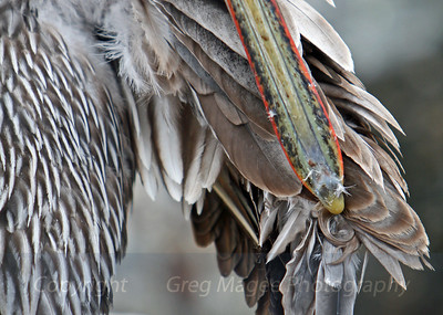 More preening.....clean up time for a brown pelican.
