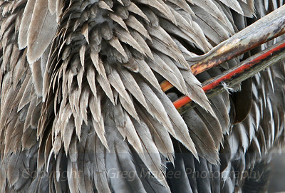 Pelican Preening  Feathers and beak of a brown pelican.