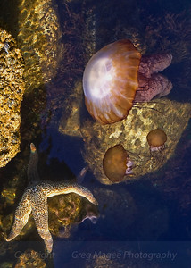 Jelly and Sea Star  What good fortune to see these jellies near a large sea star.