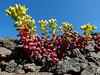 Sedum divergens - Pacific stonecrop